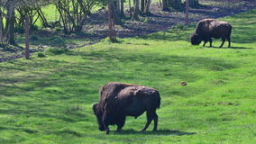 North American bison in Europe Royalty Free Stock Photos