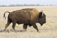 North American bison male who goes by the steppes Royalty Free Stock Image