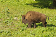 North American Bison Stock Images