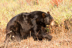 North American Black Bear Stock Photos