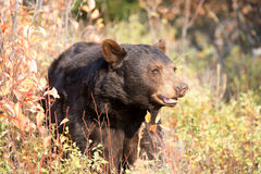 North American Black Bear Royalty Free Stock Photo