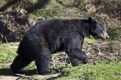 North American Black Bear Cub Stock Images