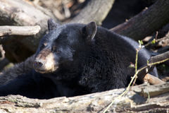 North American Black Bear Royalty Free Stock Images