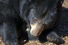 North American Black Bear Royalty Free Stock Image