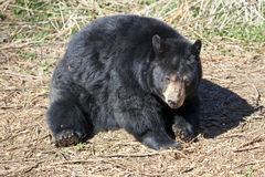 North American Black Bear Stock Image