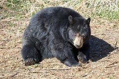 North American Black Bear Stock Image