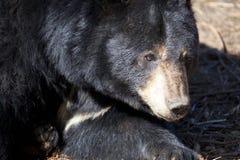North American Black Bear Stock Photography