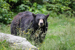 North American Black Bear - North Carolina. This is a medium sized black bear (ursus americanus) seen in Grandfather Mountains in Linville, North Royalty Free Stock Image