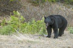 North American Black Bear #2 Royalty Free Stock Image