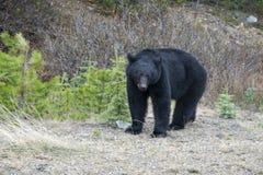 North American Black Bear #3 Royalty Free Stock Photography