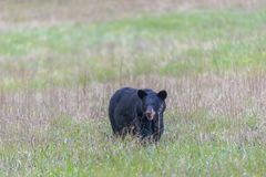 North American Black Bear in Smoky Mountains With Copy Space Stock Images