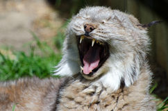 North American bobcat. Portrait of young North American bobcat yawning with open mouth Stock Photo