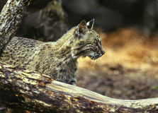 North American Bobcat Royalty Free Stock Photos