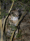 North American Bobcat - Hides in Bushes Stock Photo
