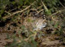 North American Bobcat Peeks Out of Bushes Royalty Free Stock Images