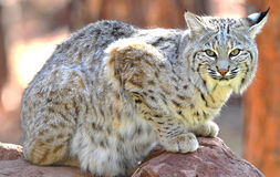 North american bobcat yellowstone nat park,idaho Royalty Free Stock Photography