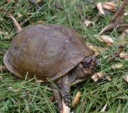North American Box Turtle II Stock Photos