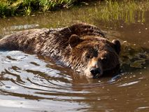 North American brown bear bathing. Stock Images