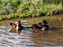North American brown bear bathing. Royalty Free Stock Images