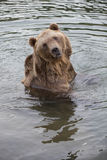 North American Brown Bear - Grizzly Stock Image