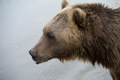 North American Brown Bear - Grizzly Stock Images