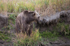 North American Brown Bear - Grizzly Stock Photo