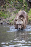 North American Brown Bear - Grizzly Royalty Free Stock Photography