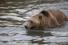 North American Brown Bear - Grizzly Royalty Free Stock Image