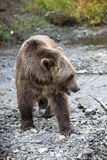 North American Brown Bear - Grizzly Royalty Free Stock Photos