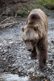 North American Brown Bear - Grizzly Stock Photography