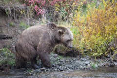 North American Brown Bear - Grizzly Royalty Free Stock Photo