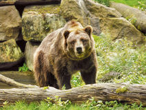 North American Brown Bear, Grizzly Bear Royalty Free Stock Photo
