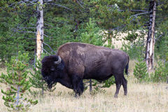 North American Buffalo Grazing near edge of woods during late su Royalty Free Stock Photos