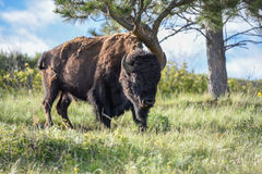 North American Bull Bison rubbing against a Dwarfed Bent Pine Tr Stock Images