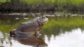 North american bull frog royalty free stock image