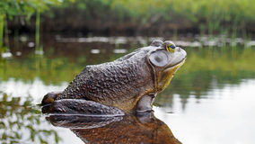North american bull frog royalty free stock image