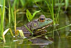 North American Bullfrog (Rana catesbeiana) Royalty Free Stock Image