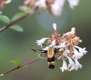 North American Clearwing Moth Royalty Free Stock Image