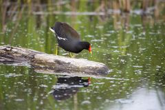 North American common gallinule walking on a rock emerging from a lake with water dripping from red beak. Léon-Provancher Marsh, Neuville, Quebec, Canada royalty free stock photo