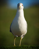 North American Common Seagull Stock Photo