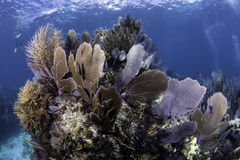 North American Coral Reefs Royalty Free Stock Photography