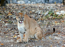 A North American Cougar (Puma concolor) Stock Images