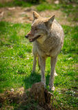 North American Coyote ( Canis Latrans) Stock Photos