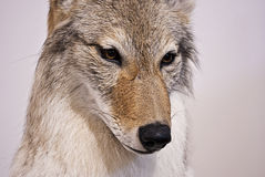 North american coyote's face. Close up of a canadian coyote's face isolated on white Royalty Free Stock Photography