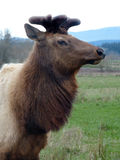 North American Elk. (Cervus elaphus) with gowing antlers in velvet.  Rural Oregon Royalty Free Stock Photography