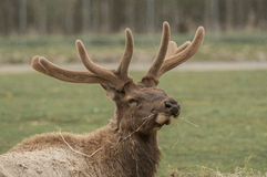 North American Elk Royalty Free Stock Images