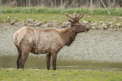 North American Elk Royalty Free Stock Image