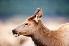 North American elk cow Stock Images