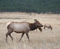 North American elk cow Stock Photo
