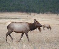North American elk cow Stock Photo